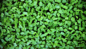 Macro de almácigos Fondo verde almácigos del arugula foto de archivo