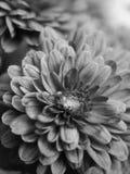 MACRO DE B&W : Fleur rouge Photo libre de droits