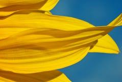 Macro: De Bloemblaadjes van de zonnebloem en Blauwe Hemel Royalty-vrije Stock Afbeeldingen