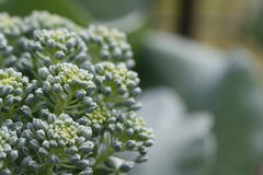 Macro de brocoli Photo stock