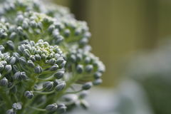 Macro de brocoli Images stock