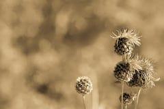 Macro de Brown del jacea floreciente de la centaurea o del Centaurea, fondo, luz de la antigüedad fotos de archivo libres de regalías