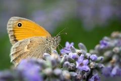 Macro de Butterlfy em flores da alfazema Fotos de Stock Royalty Free