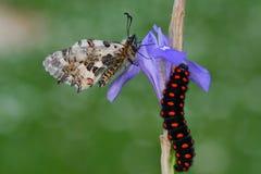 Macro de Caterpillar en naturaleza verde Fotos de archivo libres de regalías