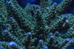 Macro de colonie de corail pierreux dans l'aquarium d'eau de mer Photo libre de droits