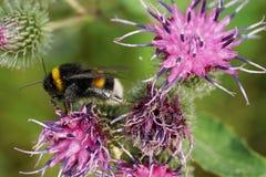 Macro de correr lucorum caucásico del Bombus del abejorro en el bl púrpura Fotos de archivo
