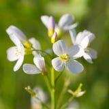 macro de Coucou-fleur Photos libres de droits