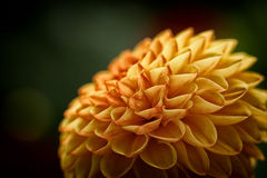 Macro de Crysanthemum Photographie stock