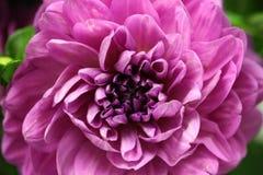 Macro de dahlia de floraison de lavande Photographie stock libre de droits