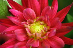 Macro de dahlia de floraison rouge Photo stock