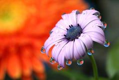 Macro de Daisy Flower Water Drops Reflection del africano Fotos de archivo libres de regalías