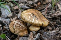Macro de dois cogumelos marrons foto de stock royalty free