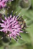 Macro de dos gris-negros y de la abeja rayada caucásica mullida Melitta Foto de archivo libre de regalías
