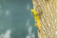Macro de escaladas amarelas do gafanhoto nas folhas e em uma árvore imagem de stock royalty free