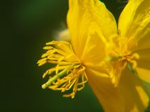 Macro de fleur de ?elandine photo libre de droits