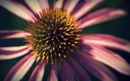 Macro de fleur d'Echinacea images stock