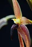 Macro de fleur d'orchidée Image libre de droits