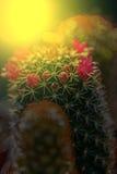 Macro de fleur de cactus fleurissant dans la lumière 4 de coucher du soleil Images stock