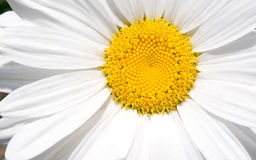 macro de fleur de camomille Images stock