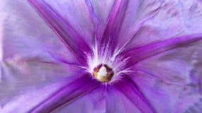 Macro de fleur de gloire de matin Photographie stock libre de droits