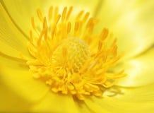 Macro de fleur de l'oeil du faisan jaune Photographie stock libre de droits