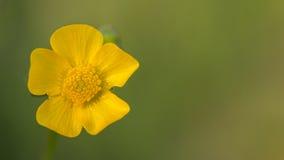 Macro de fleur de renoncules Images stock
