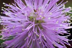 Macro de fleur de floraison de pudica de mimosa photographie stock libre de droits
