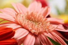 Macro de fleur rose de bloss Photos libres de droits