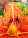 Macro de fleur rouge et orange avec le pollen sur l'anthère Images libres de droits