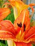 Macro de fleur rouge et orange avec le pollen sur l'anthère Image stock
