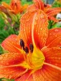 Macro de fleur rouge et orange avec le pollen sur l'anthère Image libre de droits