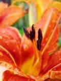 Macro de fleur rouge et orange avec le pollen sur l'anthère Images stock