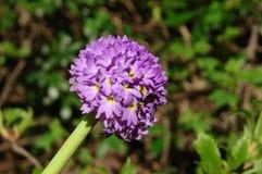 Macro de fleurs d'indigo image stock