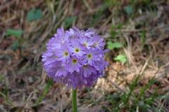 Macro de fleurs d'indigo photo libre de droits