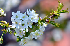 Macro de fleurs de cerisier Images stock