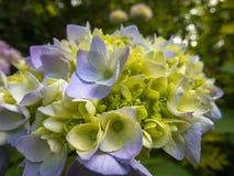 Macro de flores azules multicoloras del macrophylla de la hortensia contra la perspectiva del arbusto floreciente de la hortensia imagenes de archivo