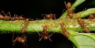 Macro de formigas do tecelão (smaragdina de Oecophylla) imagem de stock