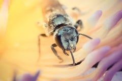 Macro de foyer d'insecte d'abeille à l'oeil Photo stock