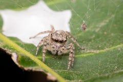 Macro de foyer d'insecte d'araignée à l'oeil Images stock