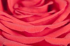 Macro de fragment de fleur de Rose Photos stock
