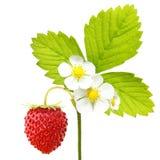 Macro de fraisier commun Image libre de droits