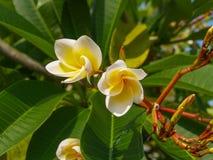 Macro de Frangipani de Plumeria photo libre de droits
