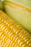Macro de grãos frescos do milho Imagens de Stock