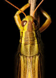 Macro de Grasshoper Imagem de Stock Royalty Free