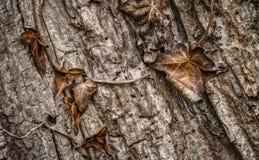 Macro de hojas de decaimiento contra corteza de árbol Foto de archivo