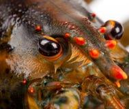 Macro de homard vivant Images libres de droits