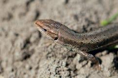 Macro de lézard minuscule dans la zone tempérée de forêt Photos stock
