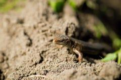 Macro de lézard minuscule dans la zone tempérée de forêt Photographie stock