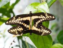 Macro de l'accouplement de papillon de machaon de deux géants image libre de droits