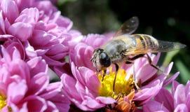 Macro de la abeja Imagen de archivo libre de regalías